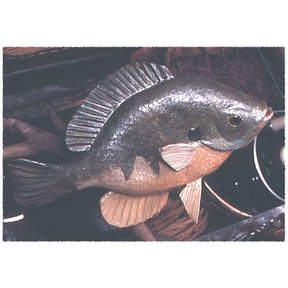 Woodworking Project Paper Plan to Build Basswood Bluegill